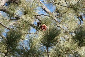 Cómo rociar árboles para el escarabajo del pino