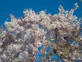 ¿Cómo plantar un Kwanzan cerezo