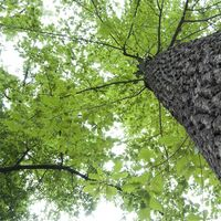 Lista de árboles de roble
