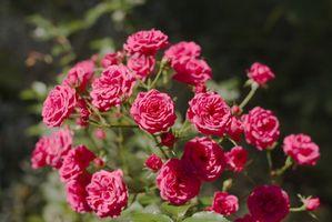 Tratamiento de la enfermedad de Rose Bush