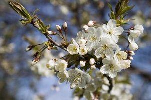 ¿Qué es un cerezo Ornamental?