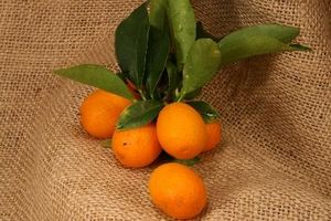 ¿Qué puede ser malo cuando mi árbol Kumquat sigue perdiendo hojas?